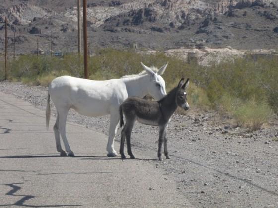 Esel auf der Route 66