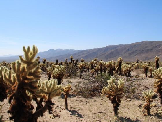Cholla Cactus Garden im Hochsommer