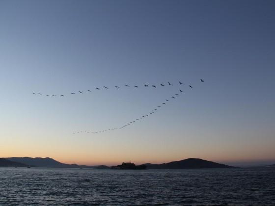 Pelikane über Alcatraz