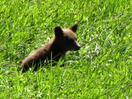 junger Bär im Yosemite NP